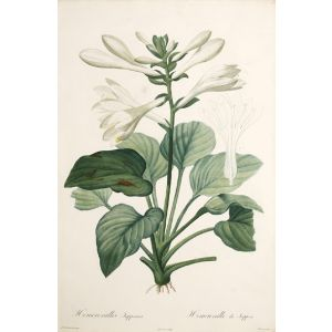 Hemerocallis Japponica.
