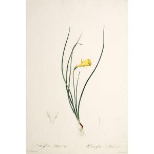 Narcissus Bulbocodium. Narcisse Bulbocode.
