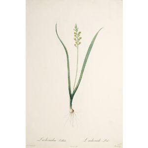 Lachenalia Pallida. Lachenale Pale.