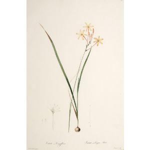 Ixia Longiflora. Ixia a longue Fleur.