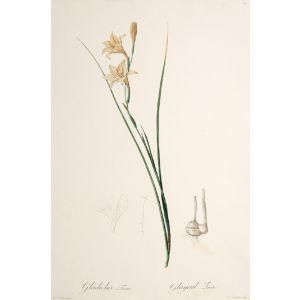 Gladiolus Tristis. Glayeul Triste.
