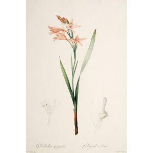 Gladiolus Cuspidatus. Glayeul en Pointe.