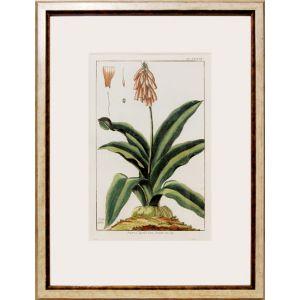 Aletris Capensis. Linn. Jacinthe du Cap.