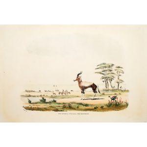 XVII. Gazella Pygarga. - The Bontebok.