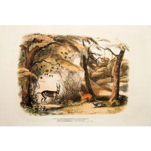 XXVI. Tragelaphus Sylvatica, - The Bushbuck, Tragulus Melanotis. - The Grysbok, Cephalopus Coerula. - The Cerulean Antelope