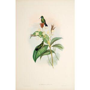 Eucephala Caerulea.