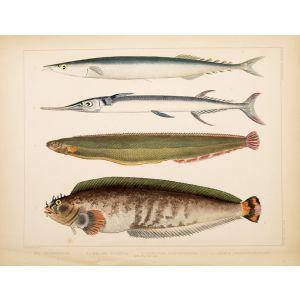 1. Clinus Polyactocephalus. 2 Gunellus Dolichogaster. 3 Belone Gigantea. 4 Scomberesox.