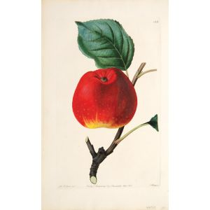 The Red Astrachan Apple.