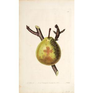 The Winter Nelis Pear.