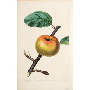 The Sam Young Apple.