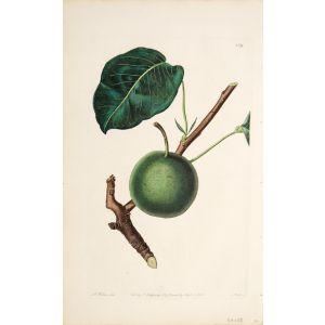 The Aston Town Pear.