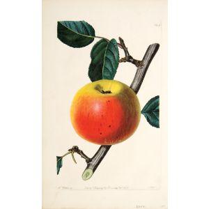 The Newton Spitzenberg Apple.