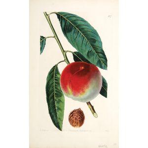 The Spring-Grove Peach.
