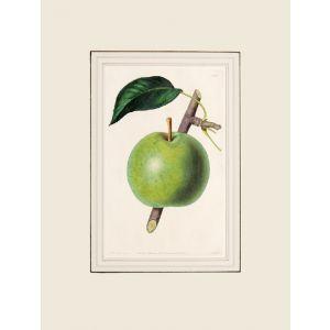 The Belle et Bonne Pear.