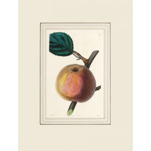 The Royal Russet Apple.