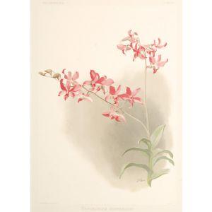 Dendrobium Superbiens.