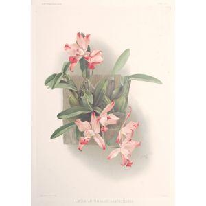 Laelia Autumnalis Xanthotropis.