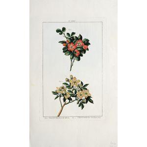 Fig,1. Theodoricea Rubra.