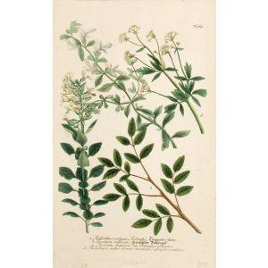 Terebinthus vulgaris Terebinthe.