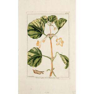 Martynia longiflora. Linn. La Martyn à fleurs longues.