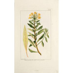 Œnothera parviflora. Linn. L'Herbe aux Asnes à petites fleurs.
