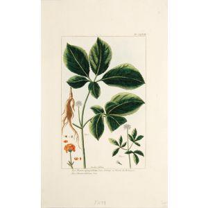 Panax quinquefilium. Linn. Ginseng ou Ninsin des Boutiques.