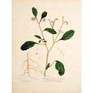 L'Heliotrope ou l'Herbe aux Verrues.
