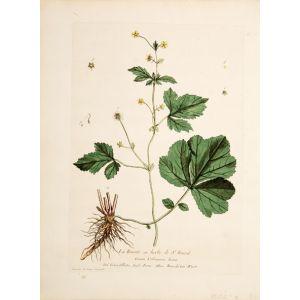 La Benoite ou herbe de St. Benoit.