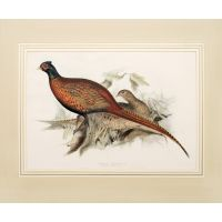 Common Pheasant.