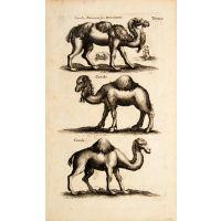 Camelus Bactrianus seu Dromedarius, Camelus, Camel.