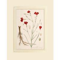 Loeillet Dianthus Caryophyllus.