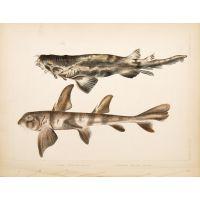 Triakis Scyllium (Banded Houndshark). Cestracion Phillippi (Port Jackson Shark).